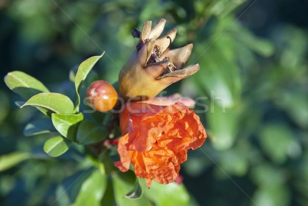 Stock photo: Pomegranate tree blossoming
