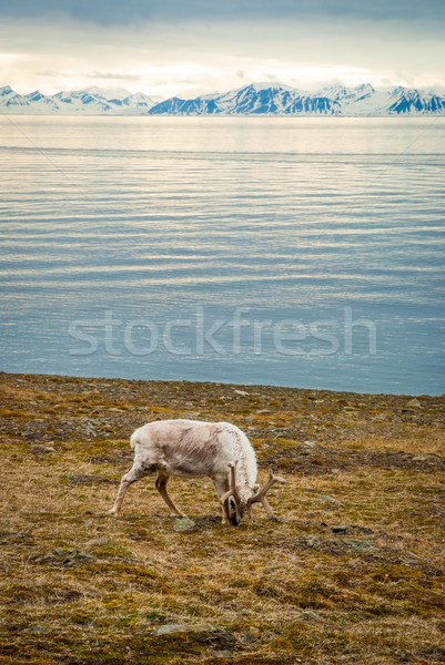 Reindeer in arctic summer Stock photo © dinozzaver