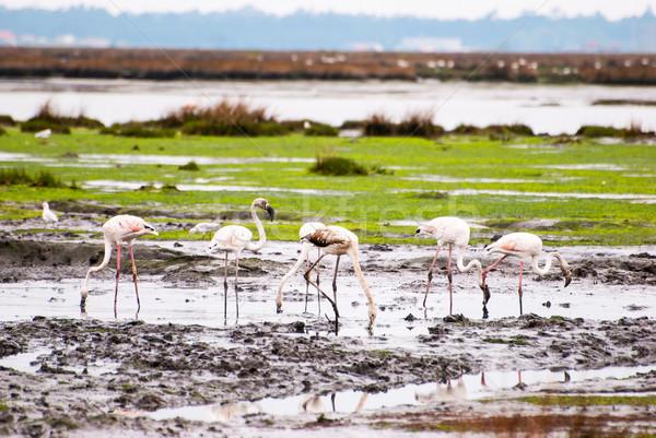 Flamingos on marshes Stock photo © dinozzaver