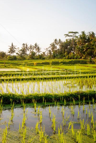 Rizs mezők fiatal Bali Indonézia víz Stock fotó © dinozzaver