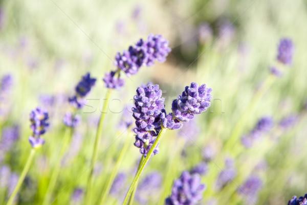 Lavanda flor florescimento foto campo Foto stock © dinozzaver