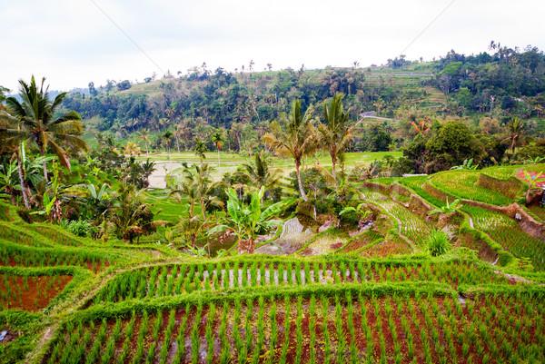 Riso bali Indonesia campi fresche giovani Foto d'archivio © dinozzaver