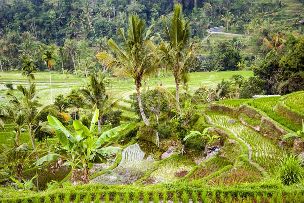 コメ バリ インドネシア フィールド 新鮮な 小さな ストックフォト © dinozzaver
