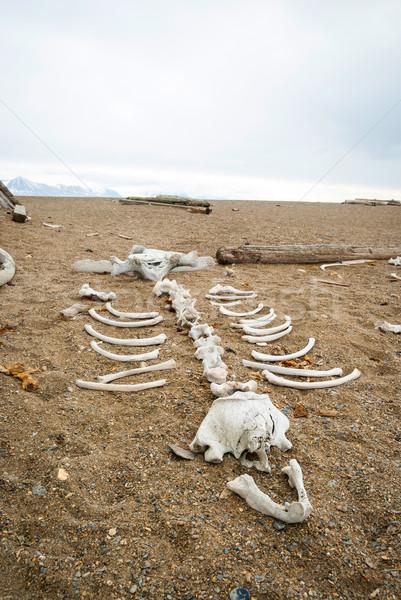 морж скелет каменные берега пляж Сток-фото © dinozzaver