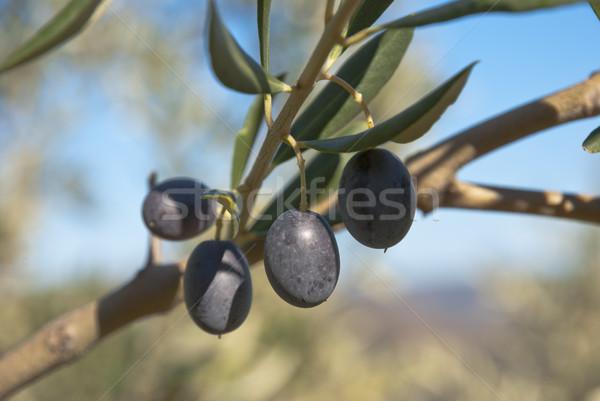 オリーブ ツリー 成長 オリーブの木 葉 フルーツ ストックフォト © dinozzaver