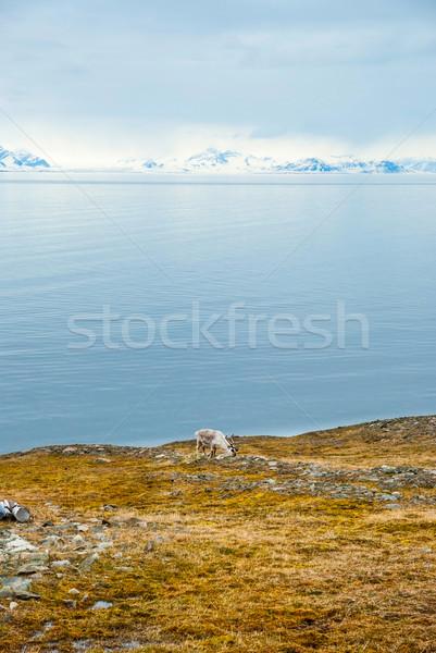 северный олень Арктика еды трава лет воды Сток-фото © dinozzaver