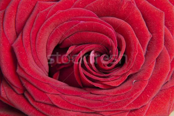 Rood rose bloem achtergrond Rood plant Stockfoto © dinozzaver