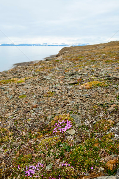 Flowers blossoming in arctic tundra in summer, Svalbard Stock photo © dinozzaver