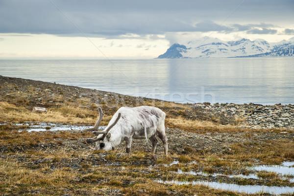 северный олень Арктика лет еды трава морем Сток-фото © dinozzaver