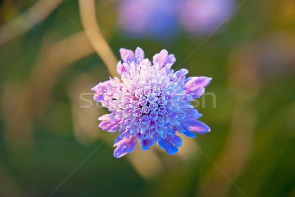 Campo fiore fioritura primo piano primavera natura Foto d'archivio © dinozzaver