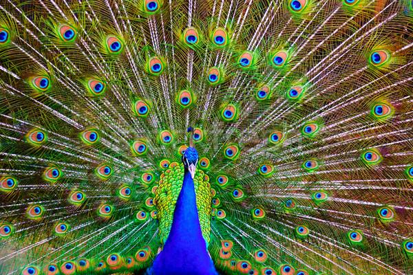 Pavo real masculina indio colorido cola Foto stock © dinozzaver
