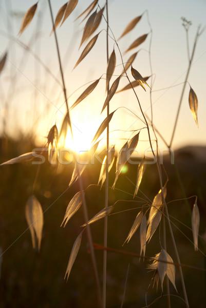 Owies wygaśnięcia wyschnięcia Hill słońce charakter Zdjęcia stock © dinozzaver