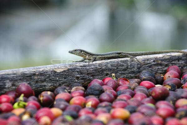 Jaszczurka świeże kawy nasion Zdjęcia stock © dinozzaver