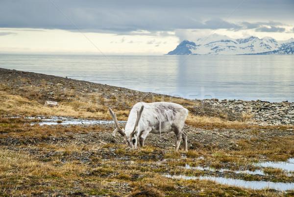 Reindeer in arctic summer Stock photo © dinozzaver