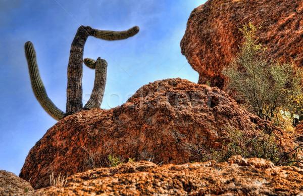 Saguaro Cactus Stock photo © diomedes66