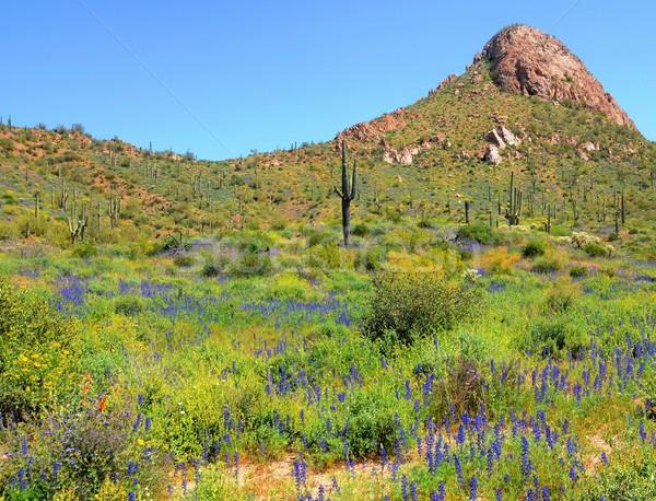 Сток-фото: Полевые · цветы · Аризона · весны · солнце · закат · пейзаж