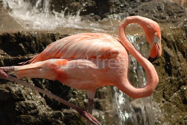 フラミンゴ ピンク 1 脚 熱帯 ストックフォト © diomedes66