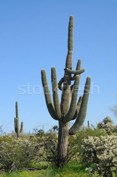 アリゾナ州 砂漠 サボテン 春 ツリー 山 ストックフォト © diomedes66