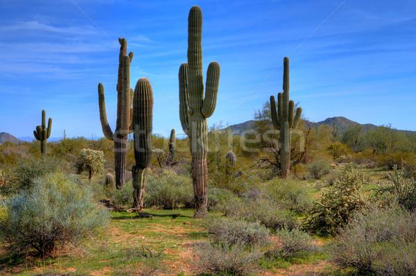 Saguaro Cacti in Spring Stock photo © diomedes66