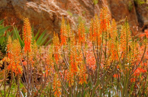 Stock photo: Desert Wild Flowers