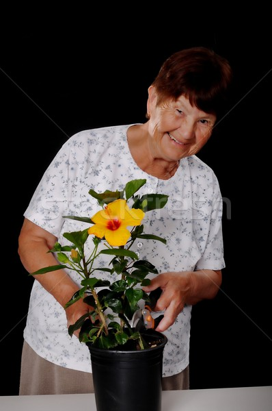 Senior woman tending to a hibiscus Stock photo © diomedes66
