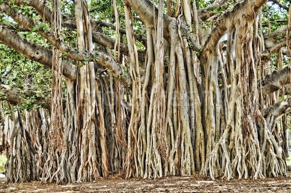 Fa Honolulu Hawaii textúra fű természet Stock fotó © diomedes66
