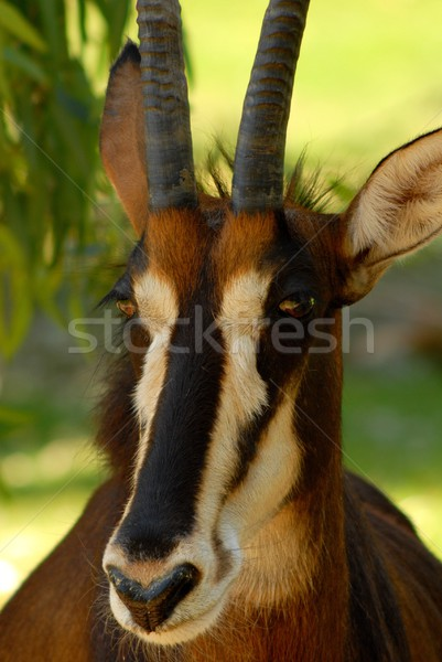 Sable Antelope Portrait Stock photo © diomedes66