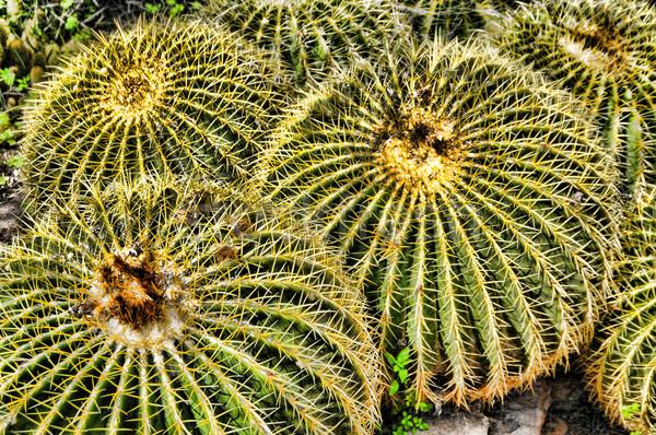 Barrel Cactus Ferocactus wislizenii Stock photo © diomedes66