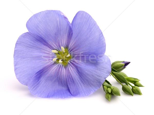 Flax flower Stock photo © Dionisvera