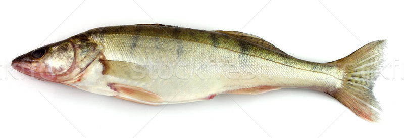 Pike perch Stock photo © Dionisvera