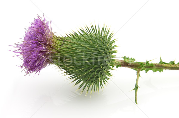 Thistle Stock photo © Dionisvera