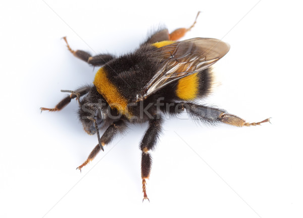 Bumblebee Stock photo © Dionisvera