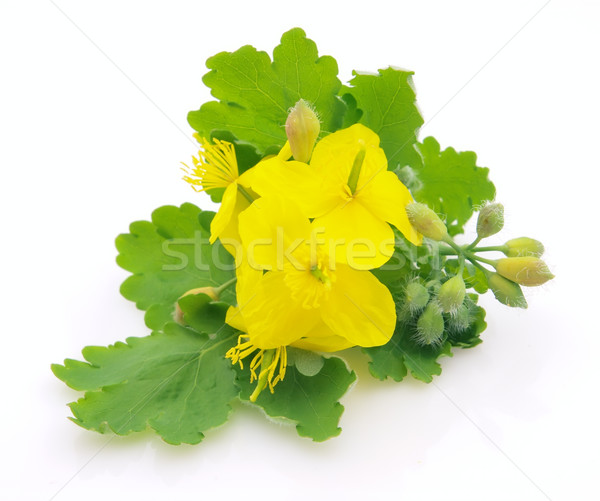 Celandine flower Stock photo © Dionisvera