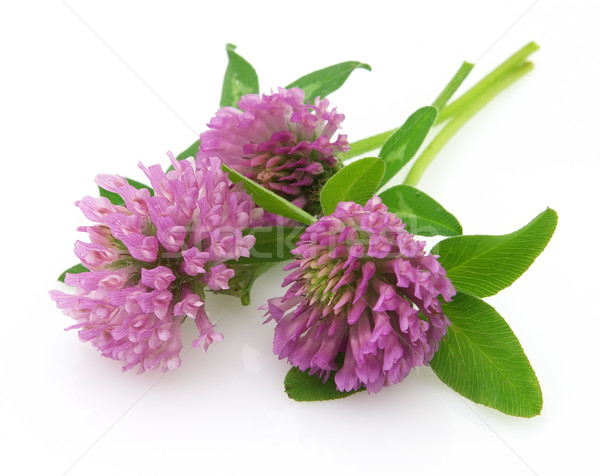 Red clover  Stock photo © Dionisvera