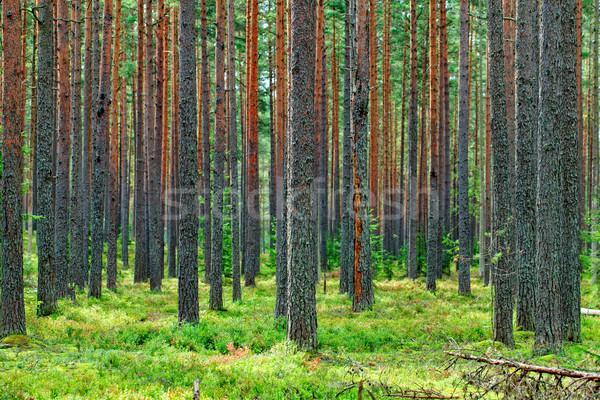 新鮮な 緑 松 森林 背景 ストックフォト © Discovod