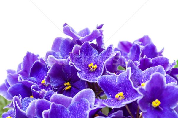 Güzel mor mor çiçekler beyaz çiçek Stok fotoğraf © Discovod