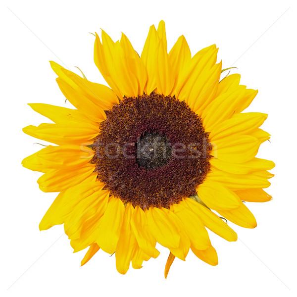 Beautiful Yellow Sunflower Stock photo © Discovod