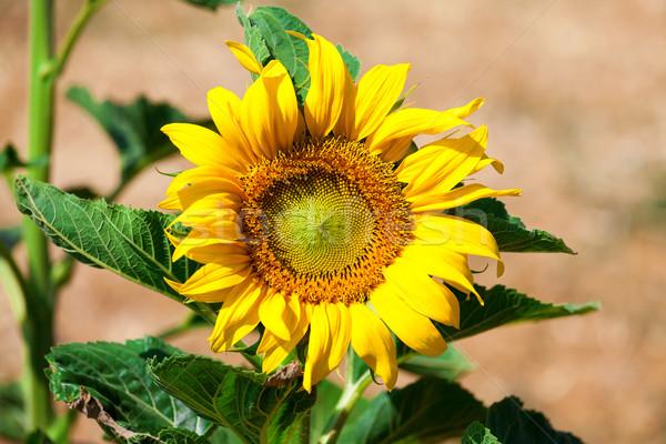 Güzel sarı ayçiçeği alan doğa Stok fotoğraf © Discovod