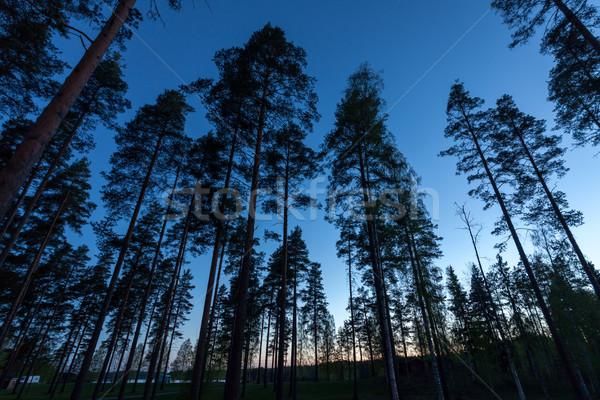небе соснового лес широкоугольный объектив Сток-фото © Discovod