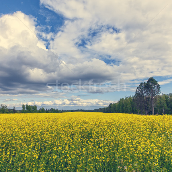 Gorgeous Yellow Canola Field in Forest Stock photo © Discovod