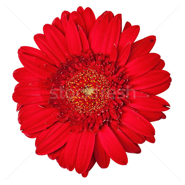 Red Gerbera Flower Isolated Stock photo © Discovod