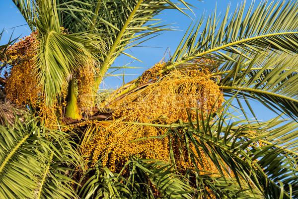 Rijp datum vruchten palmboom blauwe hemel hemel Stockfoto © Discovod