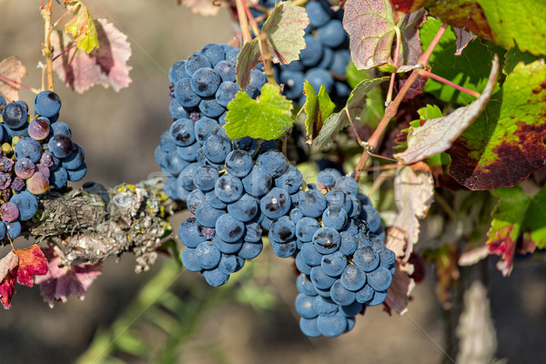 Ripe Red Grapes with Green Leaves on the Grapevine Stock photo © Discovod