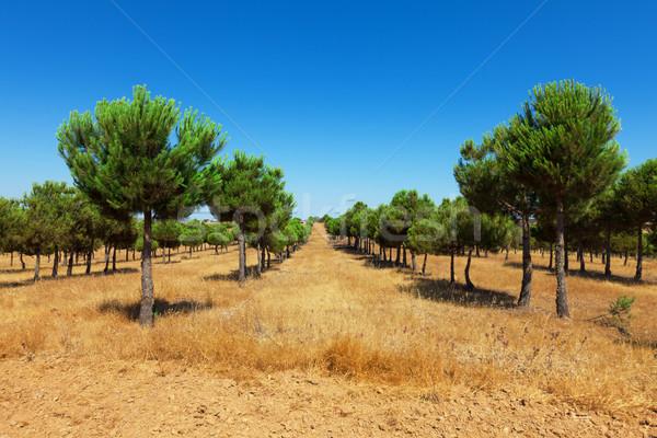 Evergreen fir plantation Stock photo © Discovod