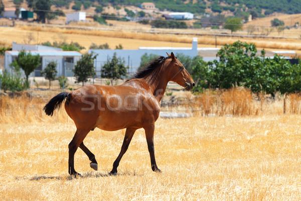 Horse walking through a pasture Stock photo © Discovod