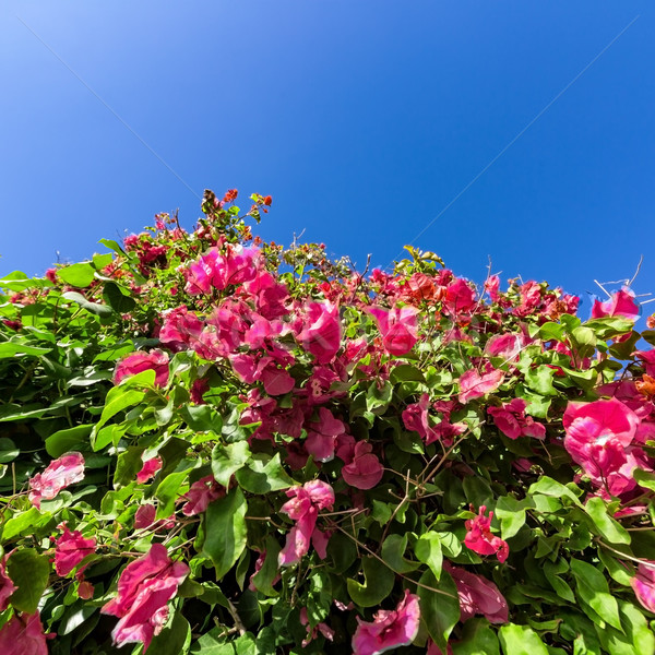 Beautiful Bush Pink Flowers with Blue Sky Background Stock photo © Discovod