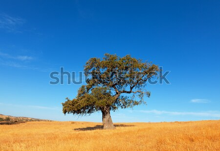 Single tree in a wheat field on a background of blue sky Stock photo © Discovod