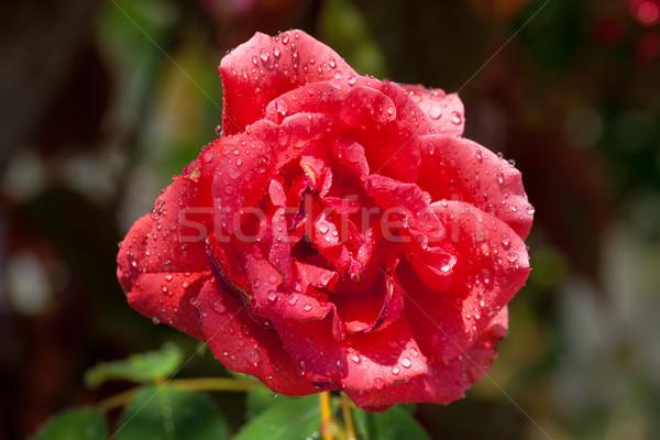 Giardino Rose Red coperto primo piano rosa Foto d'archivio © Discovod