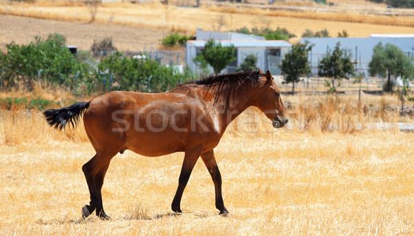 Horse walking through a pasture Stock photo © Discovod