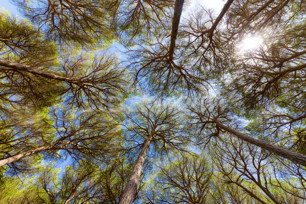 Széles látószögű kilátás fenyőfa fák kék ég égbolt Stock fotó © Discovod